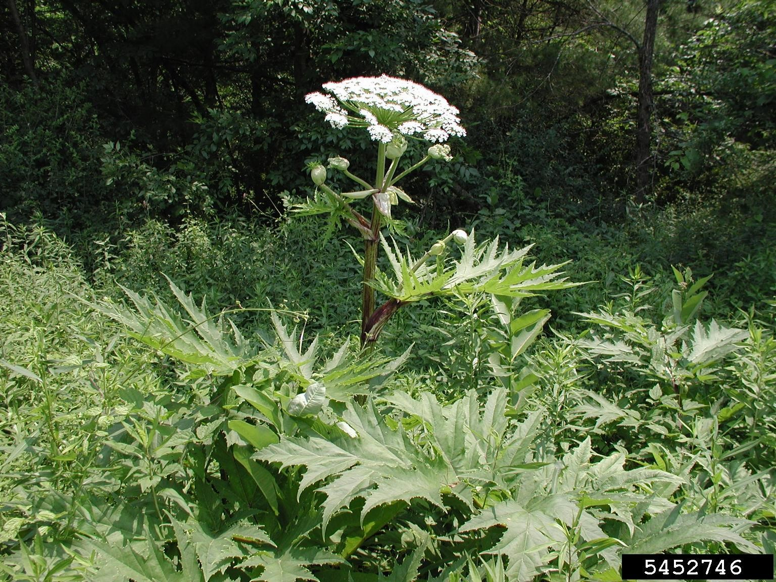Giant Hogweed ( Heracleum mantagazzianum ) - Invasive species